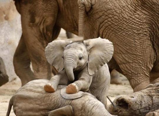cute baby elephant playing brother FİİLLER HAVA TAHMİNİ YAPABİLİR