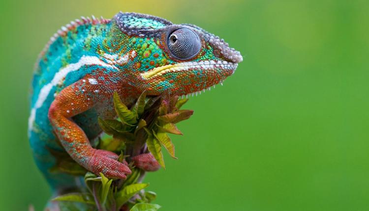 125 1 Bukalemunların Renk Değiştirmedeki Ustalıklarının Sırrı Çözüldü