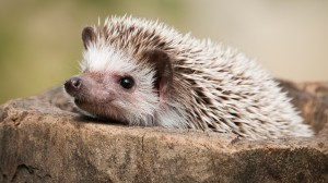 hedgehog closeup.ngsversion.1414442159645 300x168 HARVARD, AMELİYATLARDA KİRPİLERİ MODEL ALIYOR